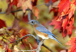 Eastern Bluebird perched on fall maple tree.
