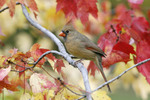 Female Northern Cardinal in fall maple tree.