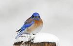 Western Bluebird perched on a snowy post.