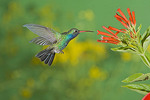 Broad-billed hummingbird by a flower.