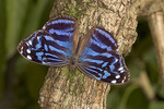 Adult Mexican Bluewing butterfly