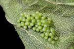 Milbert's Tortoiseshell butterfly  egg mass on Stinging Nettle