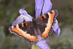 Adult Milbert's Tortoiseshell butterfly