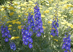 Blue Delphinium with Yellow Yarrow