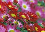 Korean chrysanthemums New York Botanical Garden