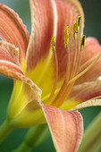 Orange Day Lily in bloom