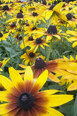 Black-eyed Susan (Rudbeckia hirta) Sunflower Family (Asteraceae) Pennsylvania, USA