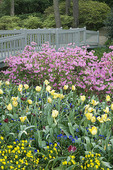 Azalea Heath Family (Ericaceae), Tulip, and varied spring flowers along a garden path