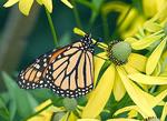 Beautiful Monarch butterfly on a yellow flower.