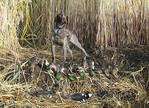 German Wired Hair Pointer hunting dog with ducks