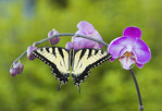 Tiger Swallowtail  butterfly on Purple Orchid
