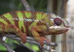 Madagascar Chameleon in captivity