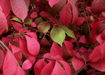 Burning bush with some green leaves