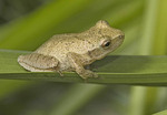 Spring Peeper on a blade of grass.
