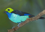 Paradise Tanager on a branch.