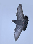 Rock Pigeon flying with its wings spread.