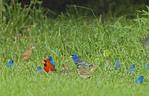 A flock of Blue grosbeaks.