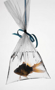 A goldfish in a plastic bag.