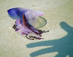 Shadow of a hand reaching for beached jellyfish on New Smyrna Beach, Florida.