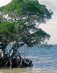 Mangrove trees growing in Gulf of Mexico waters at Emerson Point Preserve, Florida.