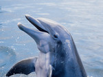 Smiling Bottlenose dolphin from the Gulf of Mexico waters near Sanibel, Florida.