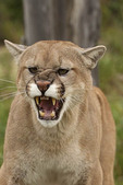 Male cougar growling and showing his teeth.