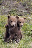 Two grizzly bear spring cubs playing with each other under the protection of their mother.