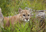 Male cougar in the grass.