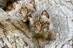 Two captive baby bobcats cuddled up together in a tree.