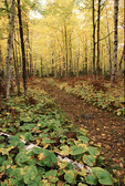 Path in the woods, with fall colors.
