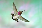 Adult male Anna's Hummingbird  Huachuca Mountains, Cochise County, Arizona