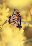 Monarch butterfly on a yellow flower.