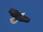 Adult Bald eagle in flight.
