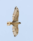 Ferruginous hawk in flight.