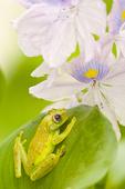 Polkadot Tree Frog on a water Hyacynth