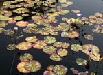 Water lilies in the Fall