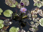Water lily with blue flower