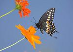 Black Swallowtail butterfly by an orange flower.
