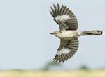 Northern Mockingbird in flight.