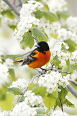 Baltimore Oriole in Hawthorn.