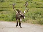 Bull Caribou on Denali Park road.
