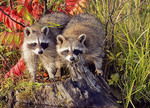 Captive common raccoons playing in the water during fall.