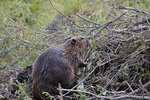American beaver working on its lodge.