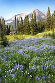 Wildflowers below the peak of Mount Rainier, a patrol cabin near Indian Henry's Hunting Grounds sits below the towering peak.
