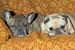 Pug and French bulldog on a couch.