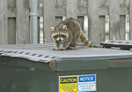 Raccoon on a dumpster.