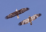 BALD EAGLE Haliaeetus leucocephalus adult, immature flying