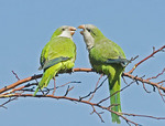 Two monk parakeets on a tree branch.