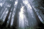 Redwood in fog, Redwood National Park, California.