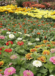 Zinnias and other Annuals at Garden center